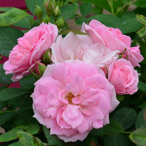 Роза канадская Prairie Joy