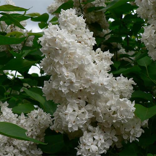 Сирень обыкновенная белая махровая